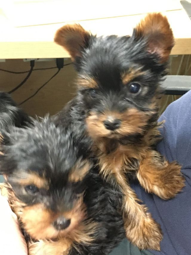 yorkie puppies for sale sacramento ca pets for sale sacramento california for sale listings 5439