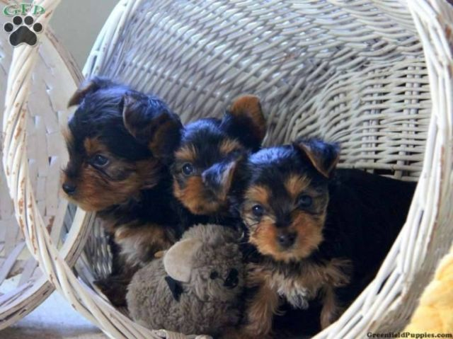Teacup Yorkie Puppies (321) 236-6211 EAU CLAIRE WISCONSIN