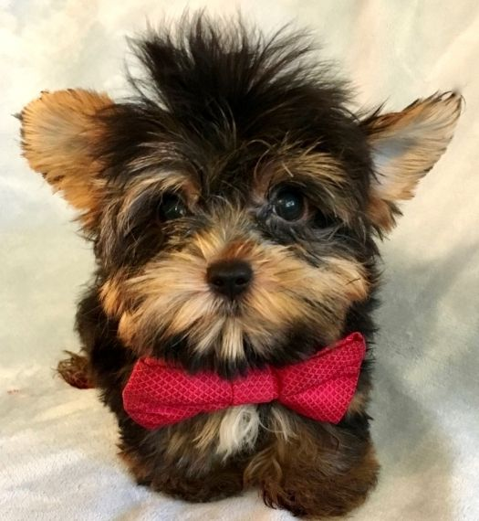 cheap yorkie puppies cheap yorkie puppies for sale fort myers florida pets for 3396