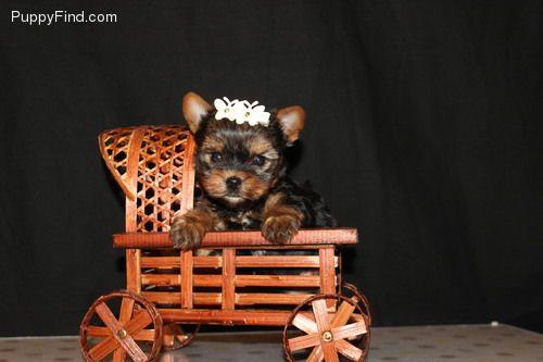 CUTE YORKIE PUPPIES FOR SALE IDAHO FALLS IDAHO Pets For Sale
