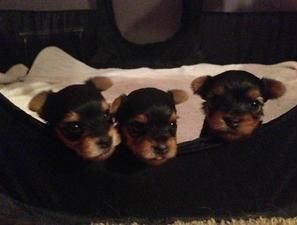 Breath taking Yorkie puppies available CHAMPAIGN ILLINOIS
