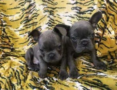 msv Gorgeous French Bulldogs CHAMPAIGN ILLINOIS Pets For