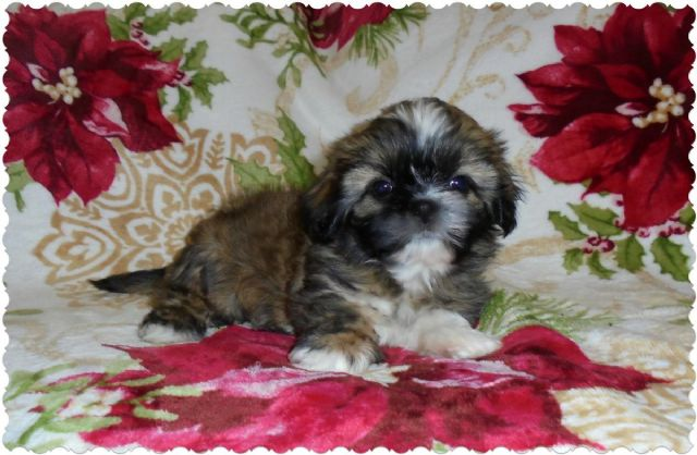 Well T Train Blue Eyed Shih Tzus Boy And Girl Lakeland Florida Pets