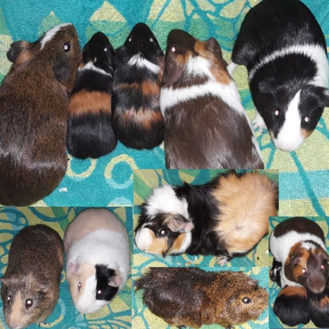 Guinea Pigs 6wks-1yr  Old LAKELAND FLORIDA Pets For Sale Classified