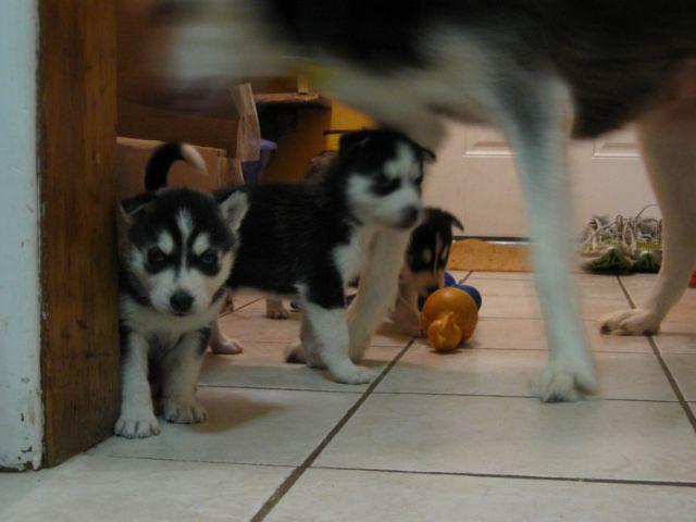 Excellent Siberian Husky Puppies Orange County California Outdoor