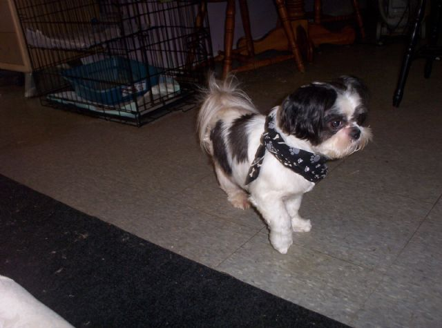 full blooded shih tzu adorable full blooded shih tzu puppies hickory north 212