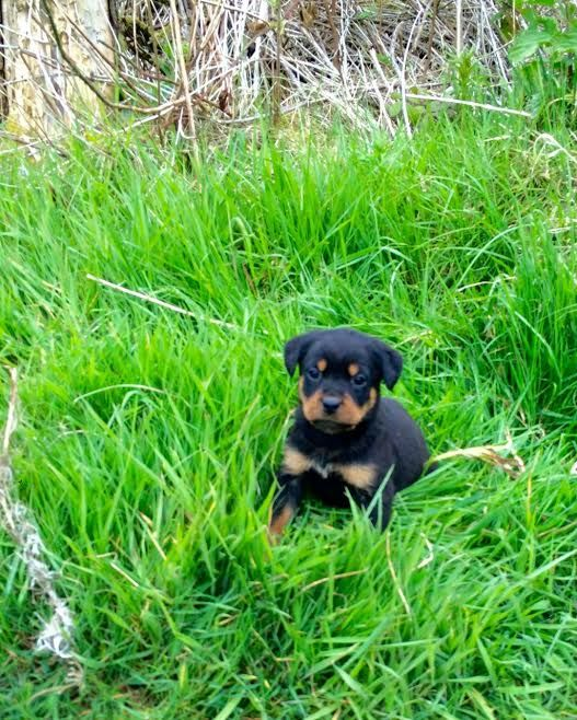 lovely Rottweiler puppies text BIRMINGHAM ALABAMA Pets For