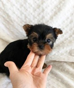 Teacup yorkie puppies for sale in houston tx