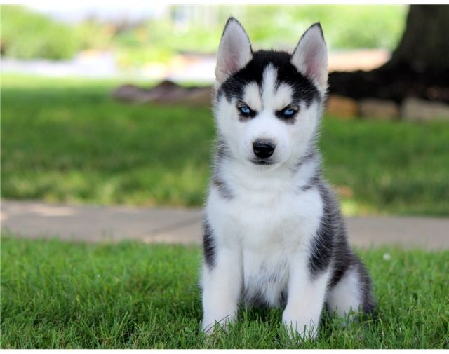 Perfectly Raised Siberian Husky Puppy Available Dayton Ohio Pets