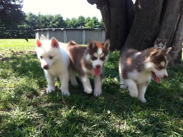 Black White Siberian Husky Amarillo Texas Pets For Sale Classified