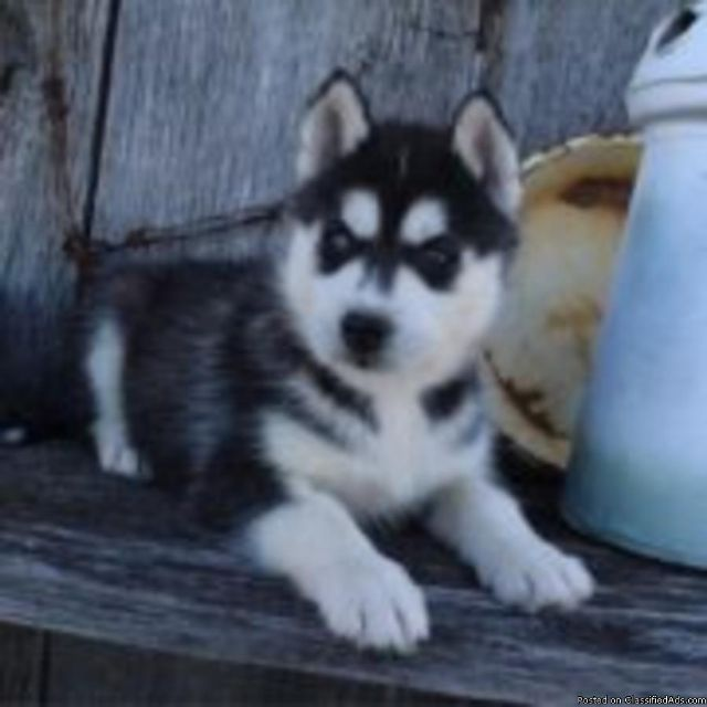 Super Cute Siberian Husky Are Still Available Knoxville Tennessee