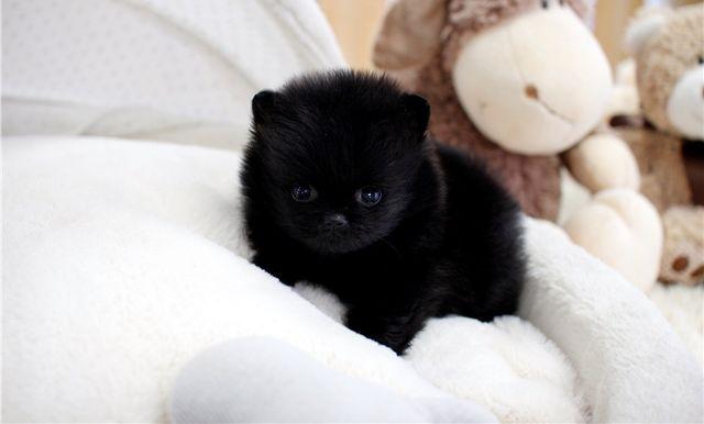 Ghfr Teacup Pomeranian Puppies For Adoption Corpus Christi Texas