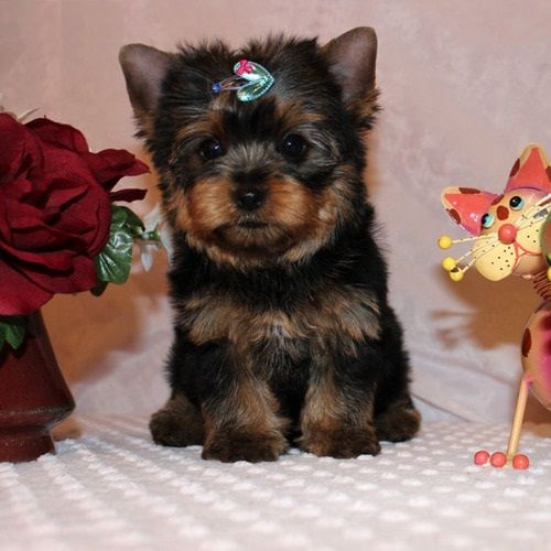 Cute Yorkshire Terrier Puppies Phoenix Arizona Pets For Sale