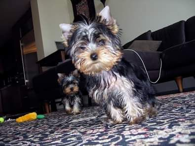 yorkie for adoption in nc registered yorkie puppies for adoption charlotte north 1975