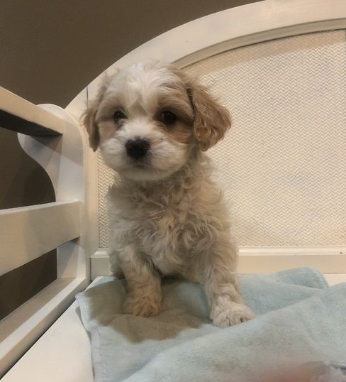 xkfbhsz Maltese Puppies Available KNOXVILLE TENNESSEE Pets For Sale