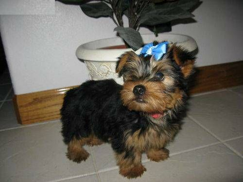 yorkie puppies for sale sacramento ca pets for sale california for sale listings free 3178