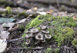 Thumb_craterellus_011913