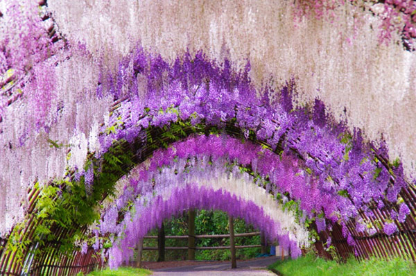 02-Wisteria-Tunnel.jpg