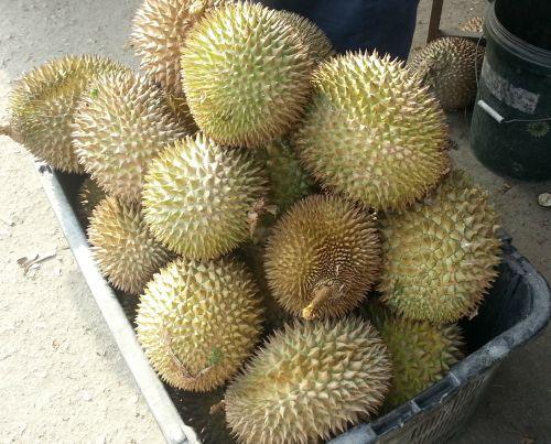 Durain season in Malaysia