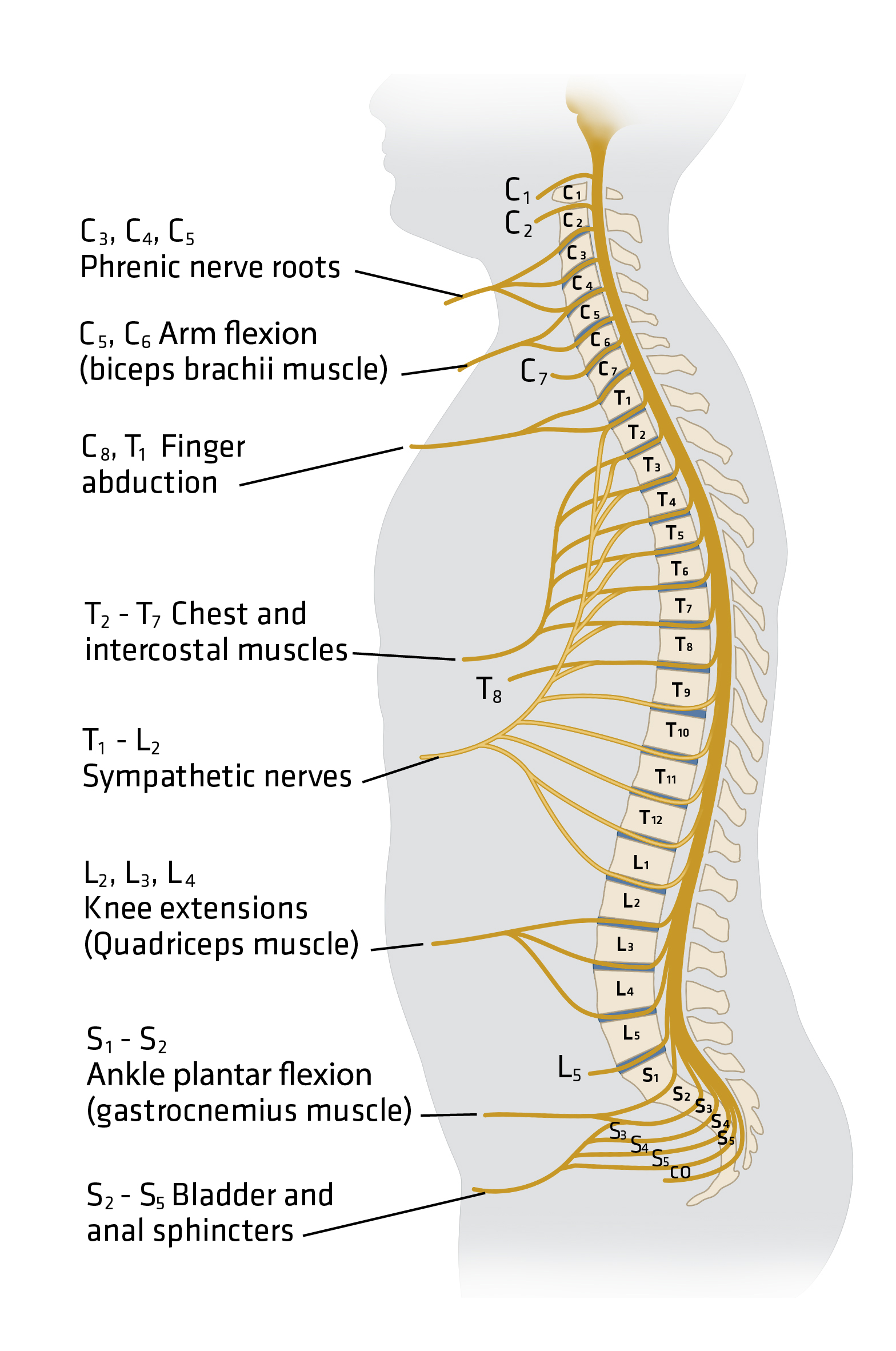 Spine Injury for the Prehospital Provider | EMS World