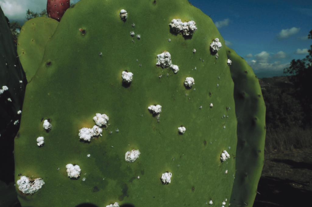 Cochineal on a prickly pear cactus