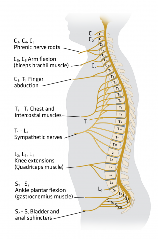 Spine Injury For The Prehospital Provider Ems World