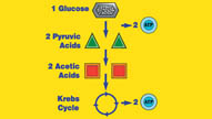 Cellular Respiration: Energy for Life