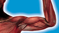 Systems of the Body: Muscles and Bones