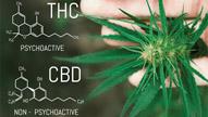 Marijuana and CBD: The Inside Story
