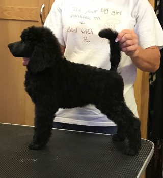 Standard Poodle Puppies available Page