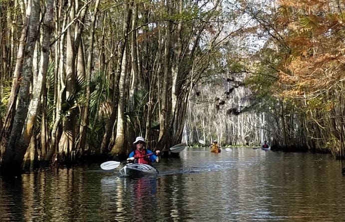 Three travelers in kayaks going down the thickly treelined waterways of the Ocklawaha river