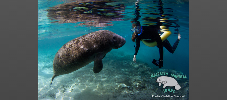 Curious and Sweet Manatee