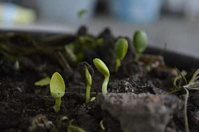 A close up of seedlings growing in compost