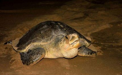 Titusville Sea Turtle Festival
