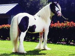 Gypsy Gold Vanner Horses