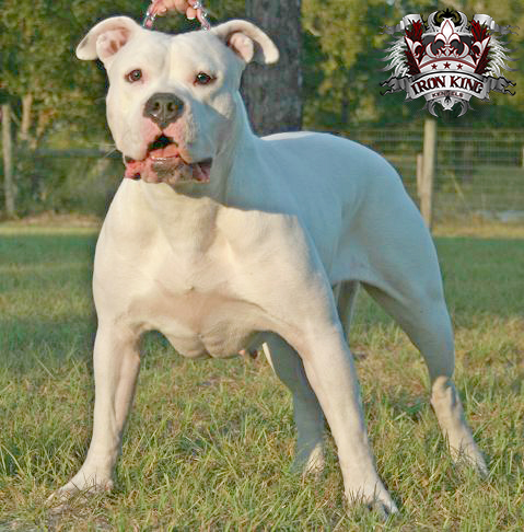 Picture of Blade pitbull female