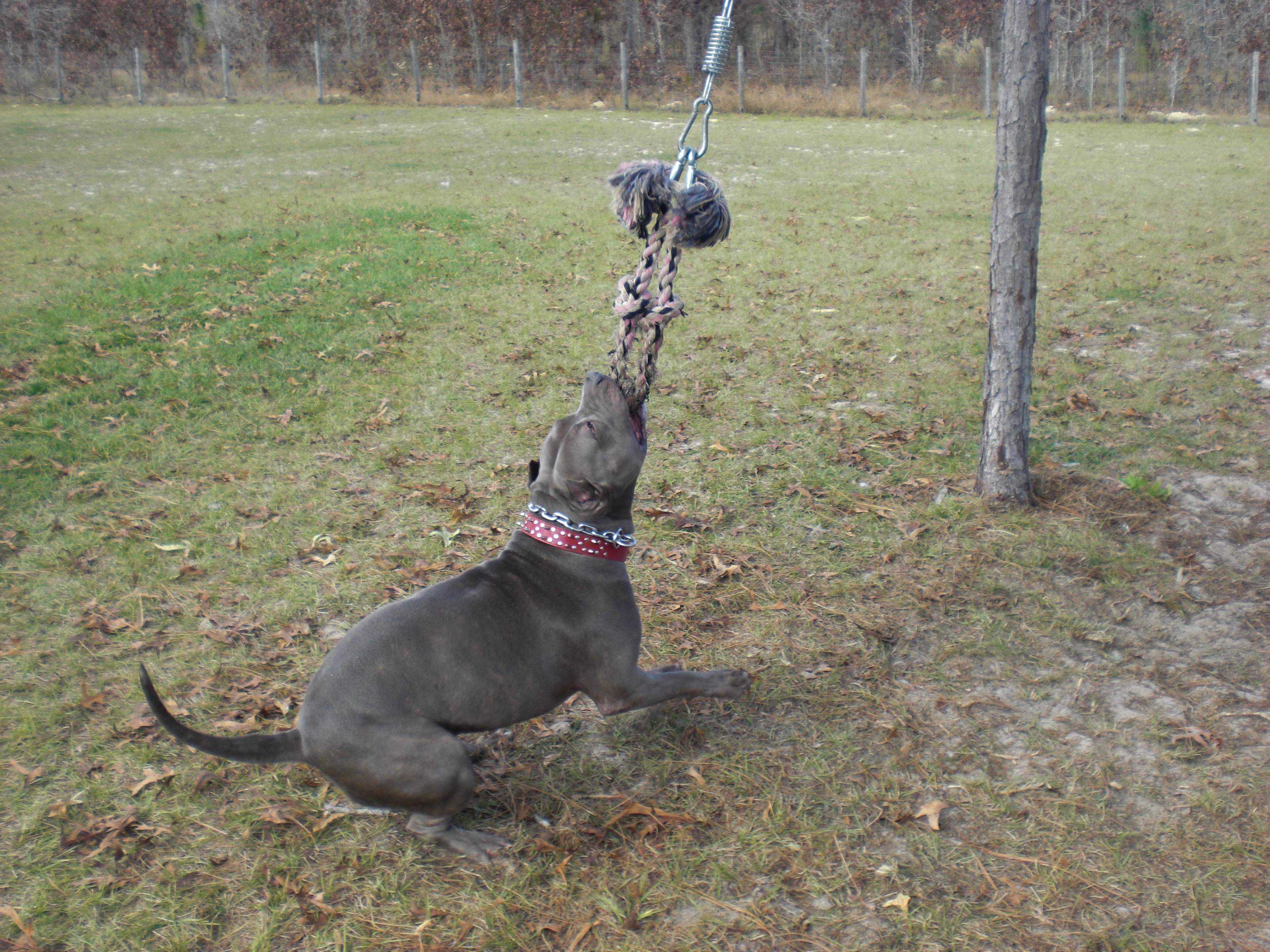 Using a spring pole with your pitbull