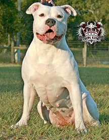 Iron King Kennel's Jethro - Male Breeding Pitbull