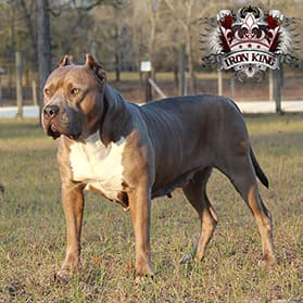 Iron King Kennel's Galactus - Male Breeding XXL Pitbull