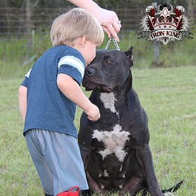 Iron King Kennel's Nebula - Female Breeding Pitbull