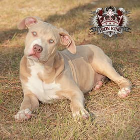 Iron King Kennel's Gypsy - Female Bluenose Pitbull