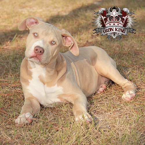 What to look for when searching for a blue pitbull puppy for sale