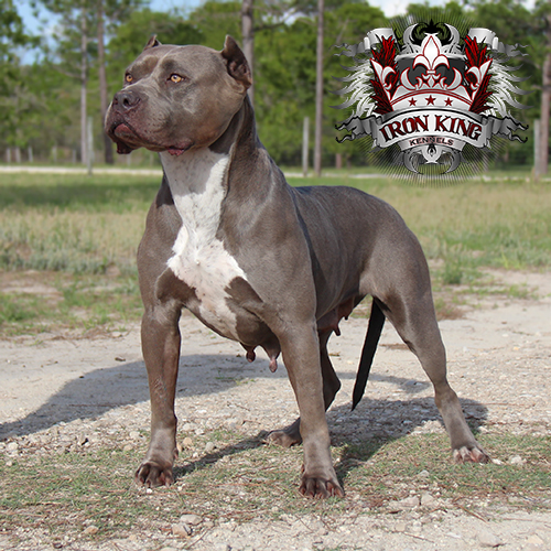 Picture of karma pitbull female