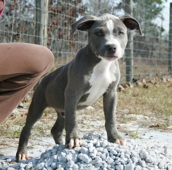 Top Facts That You May Not Know About Pitbulls