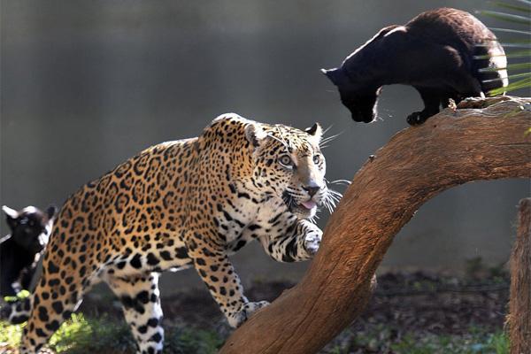 Indigo Cubs