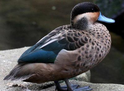 Hottentot Teal Duck