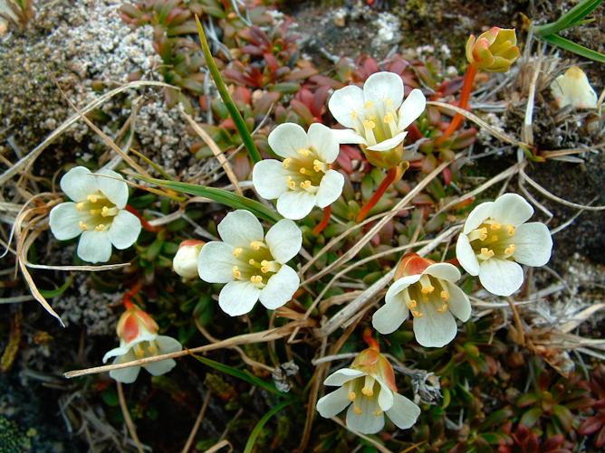 Piruktut (growing or plants)