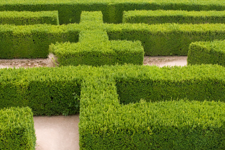 Close-up of precisely pruned hedges structured in a maze