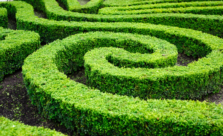 Close-up of winding hedge maze