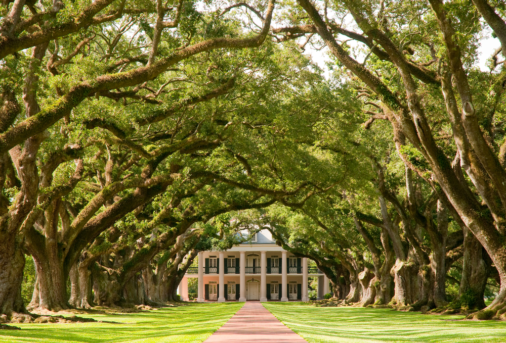The famous Oak Alley Plantation with front driveway leading up to large Greek Revival home under a canopy of aged oak branches and trees. This home is located in Louisiana and completed in 1839.